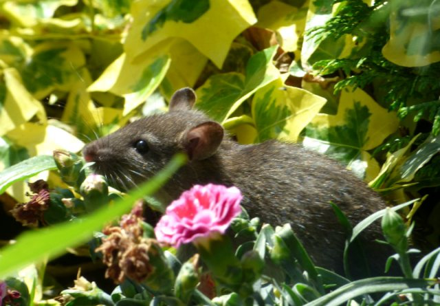bald tailed squirrel 037