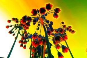 IMG_0365sunflower_glow (Large)