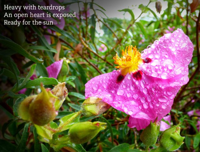 Heavy with teardrops An open heart is exposed Ready for the sun