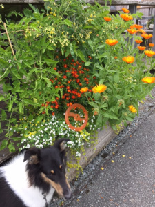 Collies and disappearing orange things