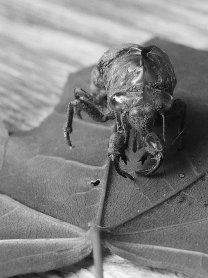 molted cicada shell