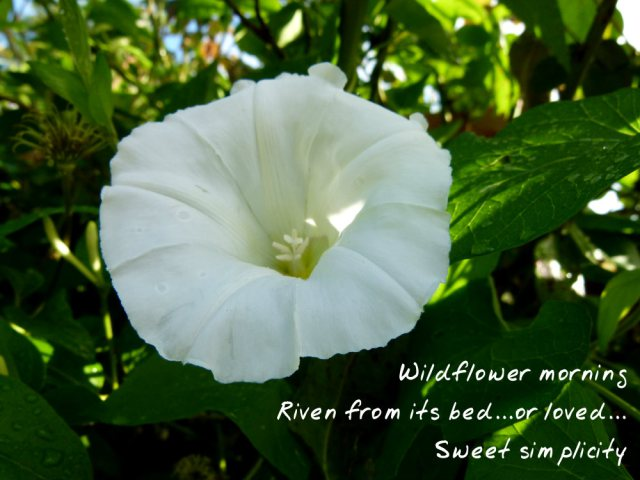 Wildflower morning Riven from its bed...or loved...Sweet simplicity