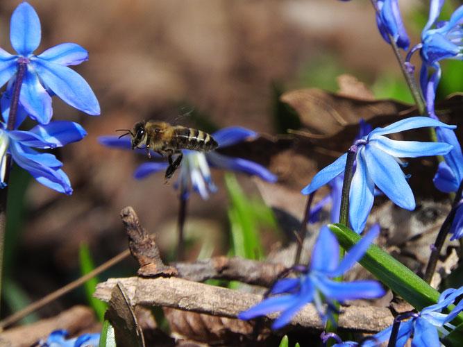 honey bee flying