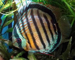 fish x2