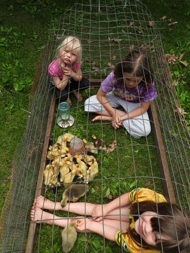 ducklings, goslings and kids