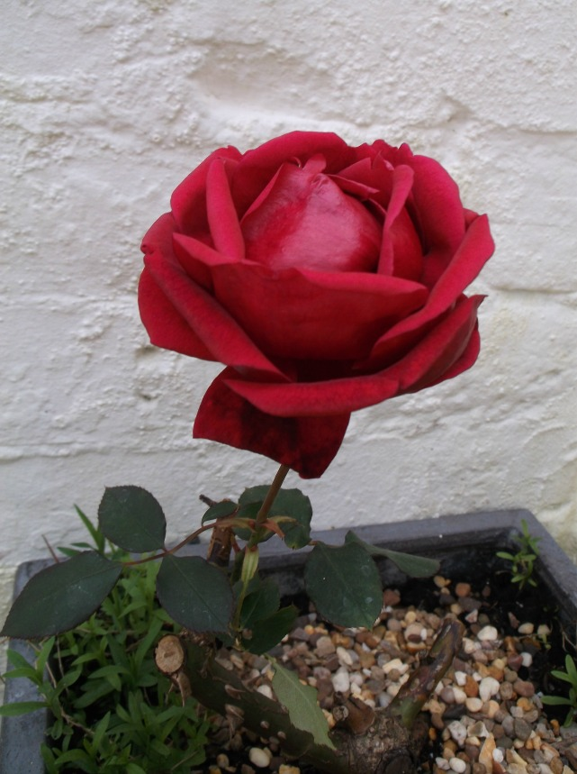 resized rose