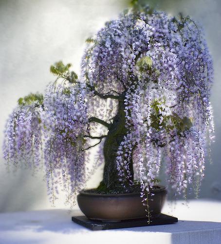 bonsai (6)