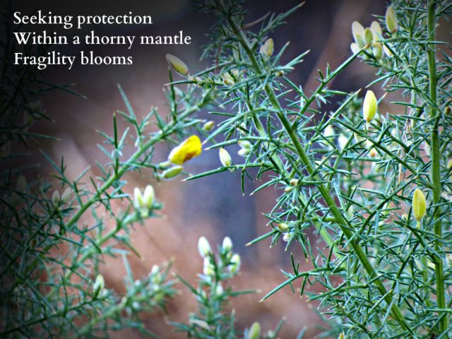 protecting-itself-within-a-thorny-mantle-fragility-blooms