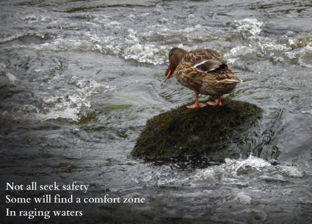 Image of duck on rock in wirling river: Not all seek safety Some will find a comfort zone In raging waters