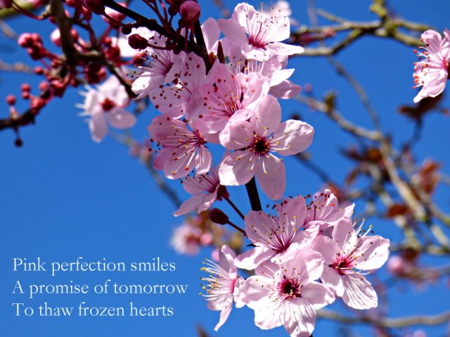 pink spring blossom against a blue sky. Pink perfection smiles. A promise of tomorrow to thaw frozen hearts