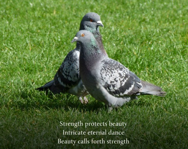 a pair of pigeons, obviously courting.