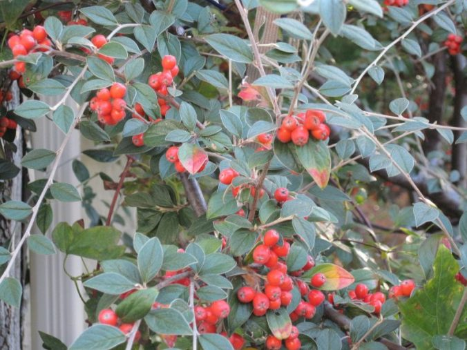 cotoneaster leaves and berries