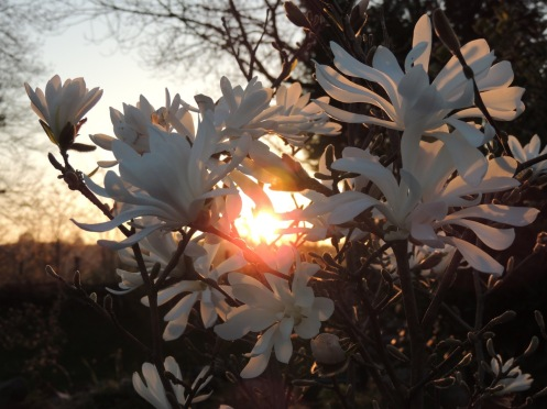 Sunset Pearl flowers+sun - 1